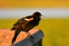 A lively Red-winged blackbird singing from early morning to communicate with his fellows. royalty free stock photo