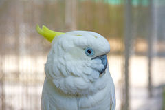 Lively white parrot looking. Animal  bird parrots white wildlife Royalty Free Stock Photo