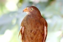 liventer Rufous-à ailes de Buzzard Butastur Images libres de droits