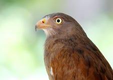 liventer Rufous-alato di Buzzard Butastur Fotografia Stock