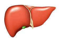 Liver. Human Liver, isolated on the white Stock Photos