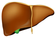 Liver. Isolated on white background vector illustration