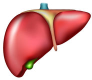 Liver Royalty Free Stock Photo