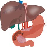 Liver Stock Photography