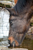 Liver chestnut horse drinking water Stock Images