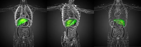 Liver. 3d rendering medical illustration of the liver royalty free stock image
