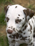 Liver dalmatian puppy. Headshot of a liver colored dalmatian puppy royalty free stock photo