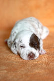 Liver Dalmatian puppy with patch. Picture of a 2 weeks old liver spotted Dalmatian puppy with a patch whose eyes have just opened stock image