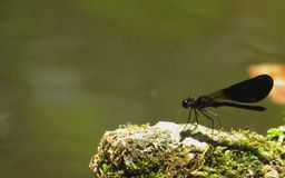 Liver dragonfly Royalty Free Stock Photo