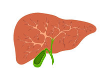 Liver and gall bladder in the context. On white background Royalty Free Stock Image