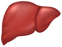 Liver of healthy person. Isolated on white vector illustration Royalty Free Stock Image