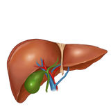 Liver. Illustration of the human liver anatomy Royalty Free Stock Images