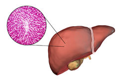 Liver illustration and micrograph Royalty Free Stock Photos