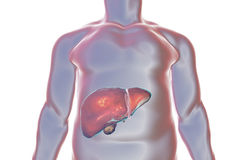 Liver inside human body. Liver with gall bladder inside human body, 3D illustration Stock Photography
