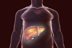 Liver inside human body. Liver with gall bladder inside human body, 3D illustration Royalty Free Stock Photography