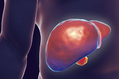 Liver inside human body. Liver with gall bladder inside human body, 3D illustration Stock Photo