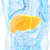 The liver Royalty Free Stock Image