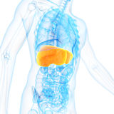 The liver Royalty Free Stock Photography