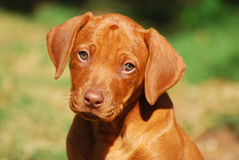 Liver nose Rhodesian Ridgeback puppy stock images