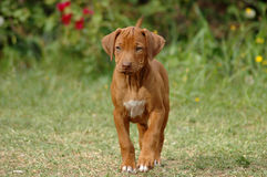 Liver nosed Rhodesian puppy. Liver nosed young little beautiful Rhodesian Ridgeback dog puppy standing watching other dogs Royalty Free Stock Image