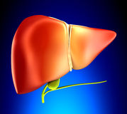 Liver Real Human Anatomy on blue background Royalty Free Stock Photo