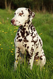 Liver Spotted Dalmatian Stock Photo