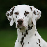 Liver spotted Dalmatian bitch Royalty Free Stock Photos