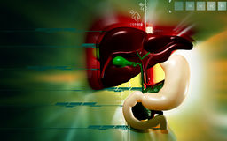 Liver and Stomach Stock Images