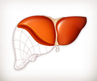 Liver structure Stock Image