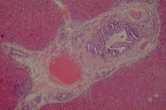 liver tissue Stock Image