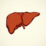 Liver. Vector drawing Royalty Free Stock Photography