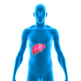 Liver. The liver is a vital organ of the digestive system present in vertebrates and some other animals. It has a wide range of functions, including Stock Photography