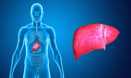 Liver. The liver is a vital organ of the digestive system present in vertebrates and some other animals. It has a wide range of functions, including Stock Images