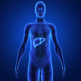 Liver. The liver is a vital organ of the digestive system present in vertebrates and some other animals. It has a wide range of functions, including vector illustration