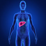 Liver. The liver is a vital organ of the digestive system present in vertebrates and some other animals. It has a wide range of functions, including Stock Photo