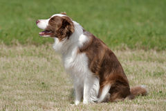 Liver & white collie Stock Images