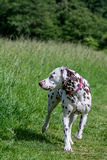 Liver and white Dalmatian. An alert looking liver and white Dalmatian walking through a meadow field Royalty Free Stock Image