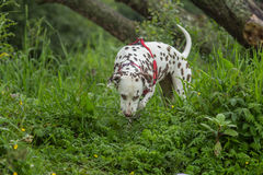 Liver and white Dalmatian. A liver and white Dalmatian on the banks of a river with trees in the background Royalty Free Stock Images