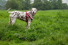 Liver and white Dalmatian. A liver and white Dalmation standing in a field wearing a red harness Royalty Free Stock Photos