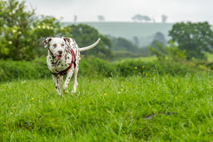 Liver and white Dalmatian. A liver and white Dalmatian wearing a red harness while out in a field stock photos