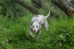 Liver and white Dalmatian. A liver and white Dalmatian on a woodland riverbank Royalty Free Stock Image