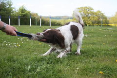 Liver and white working type english springer spaniel gundog tug. Ging on a toy Royalty Free Stock Image