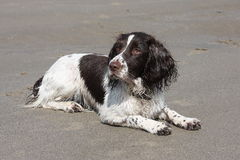 A liver and white working type english springer spaniel lying on a sandy beach Stock Photography