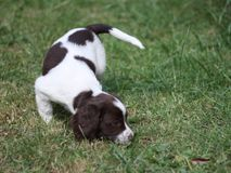A liver and white working type english springer spaniel pet gundog Stock Images