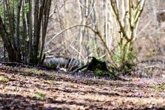 liverleaf bloemen, Hepatica-nobilis, in de lente bosbed royalty-vrije stock foto
