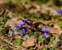 liverleaf bloemen, Hepatica-nobilis, in de lente bosbed stock afbeeldingen