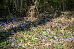 liverleaf bloemen, Hepatica-nobilis, in de lente bosbed royalty-vrije stock foto's
