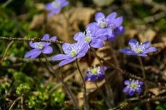 liverleaf bloemen, Hepatica-nobilis, in de lente bosbed royalty-vrije stock fotografie