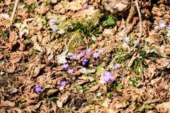 liverleaf bloemen, Hepatica-nobilis, in de lente bosbed stock foto