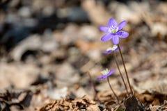 liverleaf bloemen, Hepatica-nobilis, in de lente bosbed stock foto's